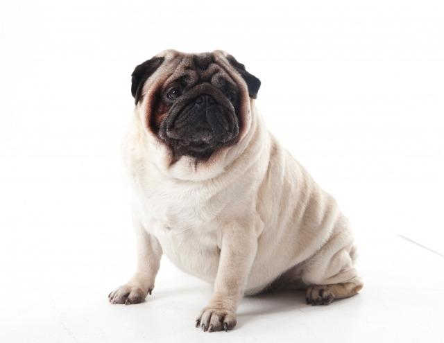 犬、パグ、老化、老け顔.jpg