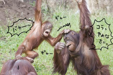 チンパンジー ケンカ