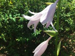 うす紫のベル型の花