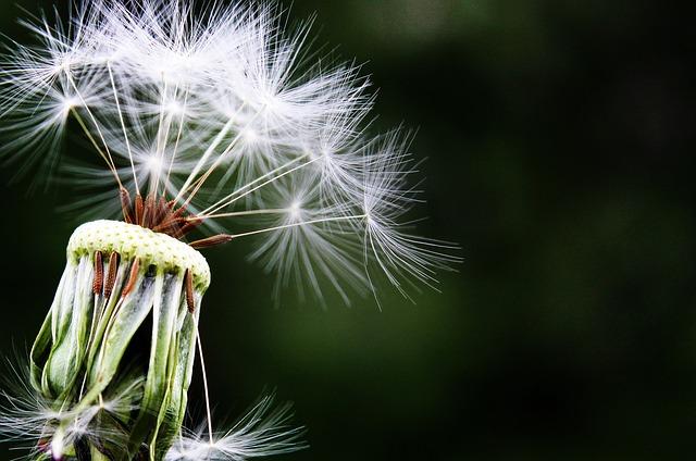dandelion-1452219_640.jpg