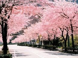 桜.jpeg