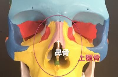鼻骨と上顎骨.png