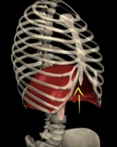横隔膜呼気.png