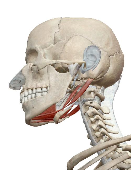 下顎骨下制.jpg