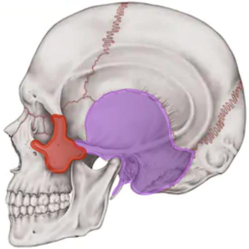 側頭骨と頬骨.png