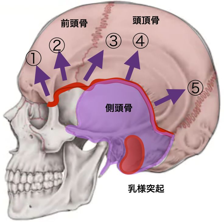 天蓋骨縫合の向き.png