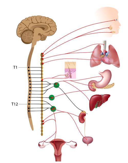 脊髄と臓器.png