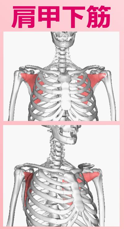 肩甲下筋2.png