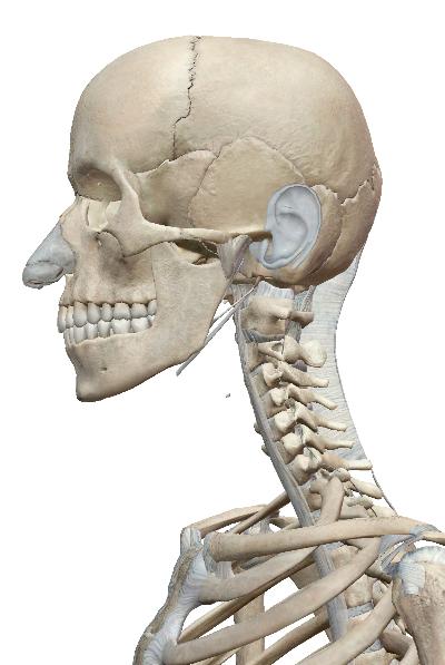 頭と首.jpg