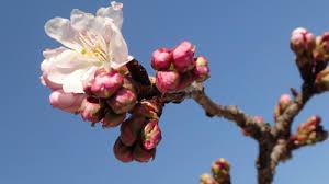桜開花.jpeg
