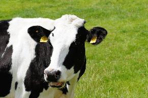 cow-391291_960_720.jpg
