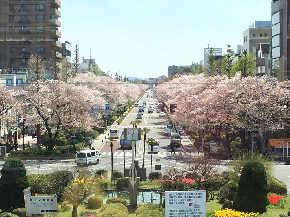 黄緑の桜って見たことありますか?