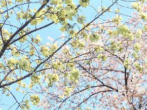 黄緑の桜.JPG