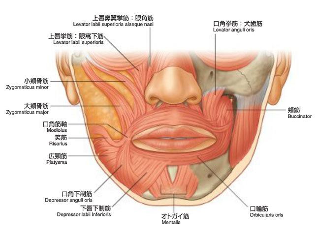 face-muscles.jpg