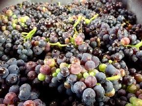 ヴェルズネイの収穫ブドウ