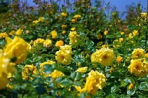 広がる黄色い薔薇