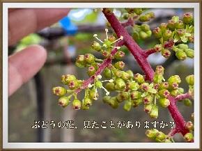 ぶどうの花