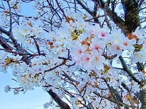 さくら, 桜