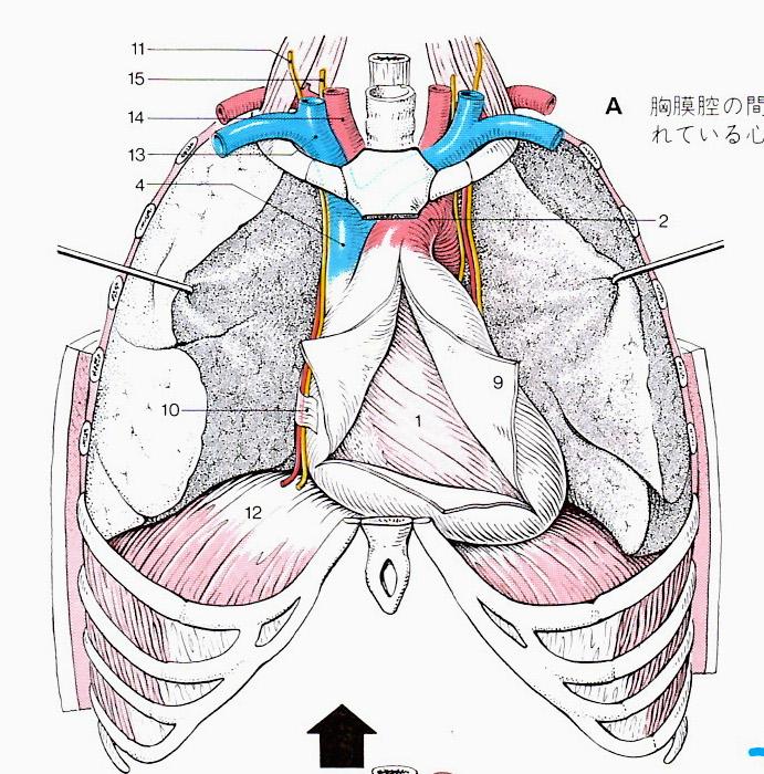 胸腔内臓器.JPG