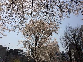 池袋 桜.jpg