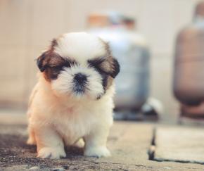 子犬.png
