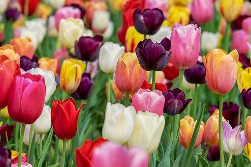 tulip-3365630__340.jpg