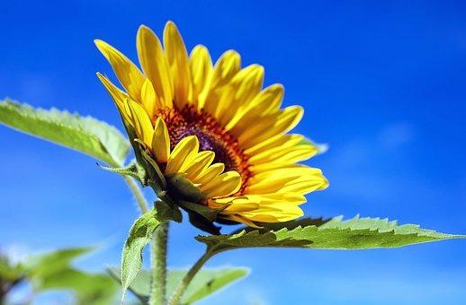 sun-flower-1536088__340.jpg