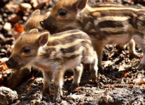 wild-pigs-3279479__480.jpg