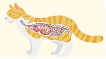 猫の腸イラスト