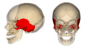 Temporal_bone.png