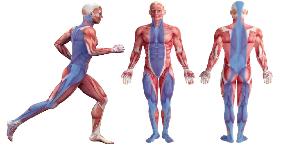 筋膜.png