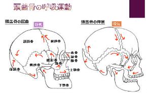 頭蓋骨.png