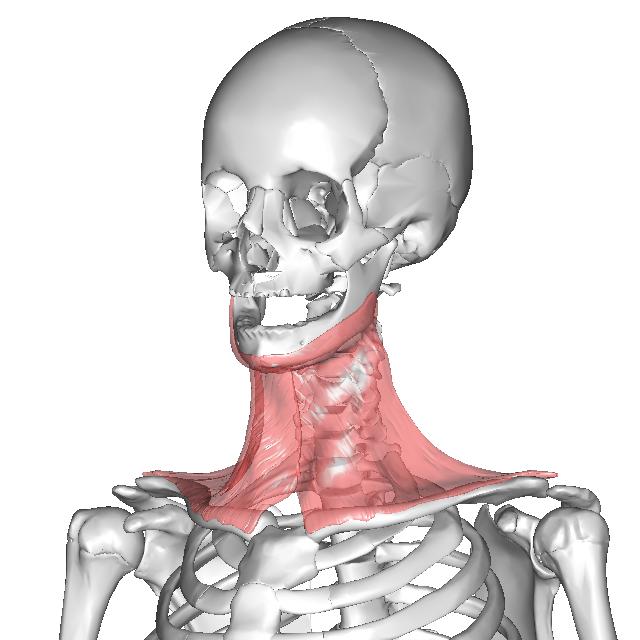 広頚筋.png