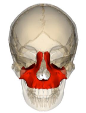 上顎骨.png