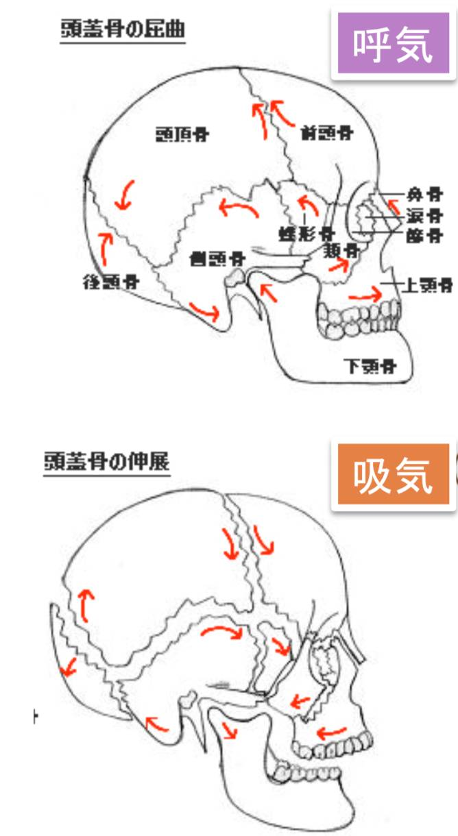 頭蓋骨の呼吸で動く.png