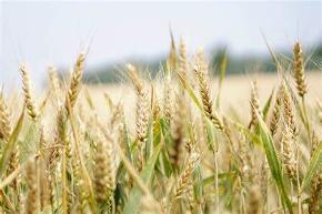 小麦.jpeg